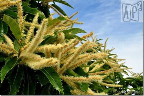 La flor del castaño
