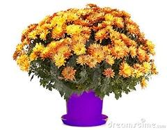 crisantemos-en-maceta-7155469