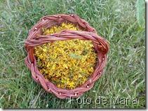 hipérico foto María  (1)